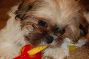 """""""Right Start"""" Puppy Training Programs"""