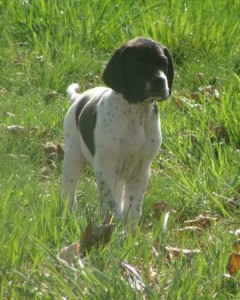 English Pointer pup at 7 weeks