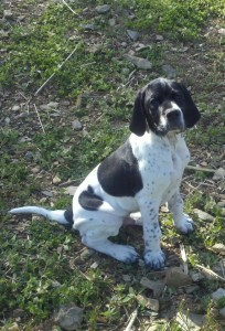 English Pointer puppy explores his new world