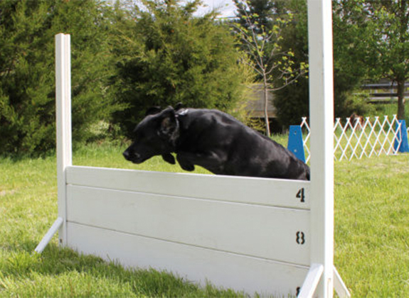 dog jumping during agility training