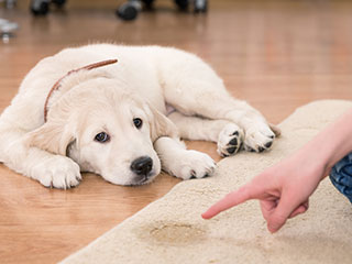 puppy training, housebreaking puppies, training for puppies